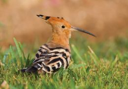 a hoopoe in mallorca